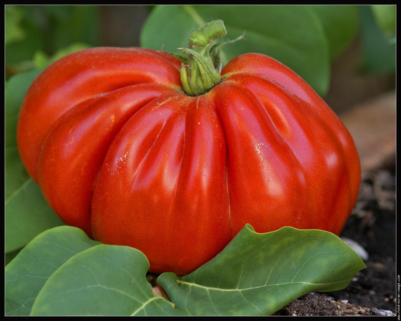 Tomates les choucas gourmands for Comment tailler un potiron